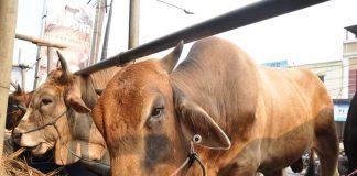 metode penggemukan sapi