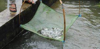 penanganan pascapanen ikan