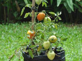 ajir tomat