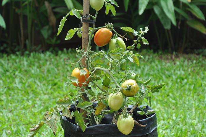 penyakit pohon tomat