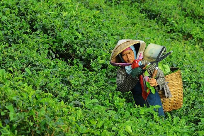 hama daun teh