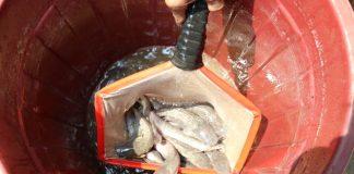probiotik ikan lele