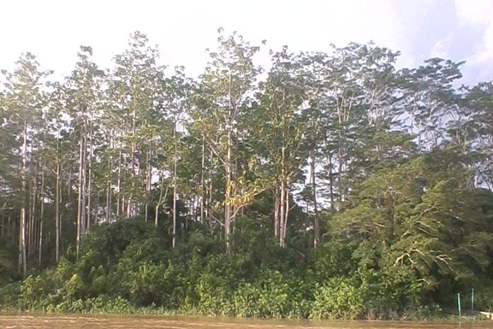 pohon binuang