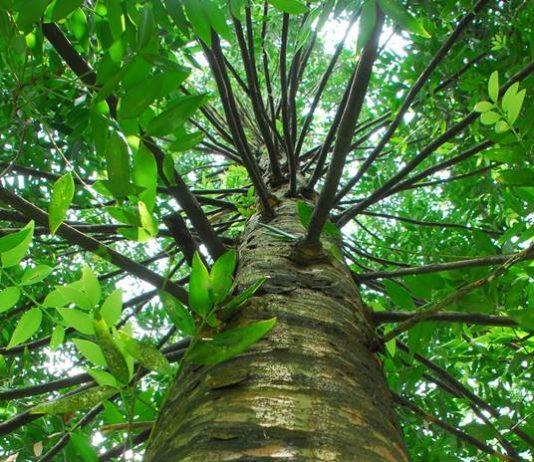 pohon damar