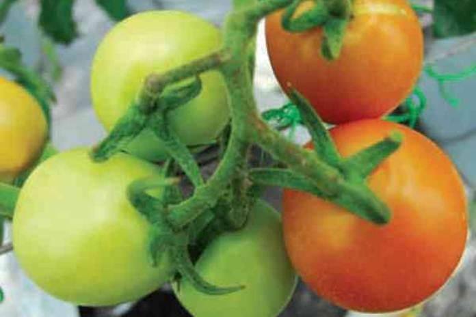 tanaman sayur