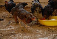 ayam sensi 1 agrinak