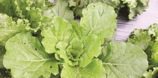 selada secara organik