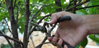 waktu pemangkasan pohon buah