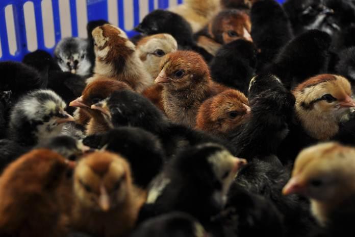 memelihara anak ayam