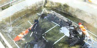 air kolam ikan koi