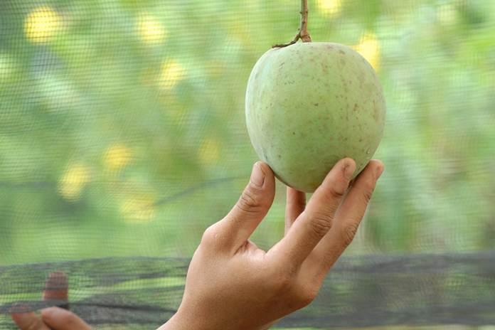 hama bubuk buah mangga