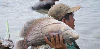 nafsu makan ikan gurami