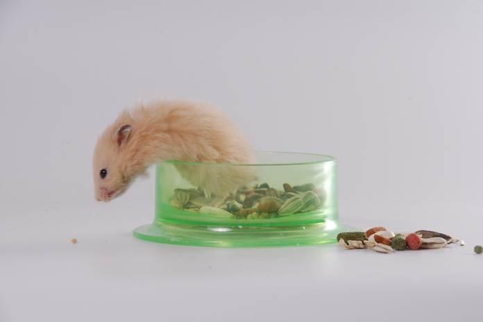 merawat anak hamster