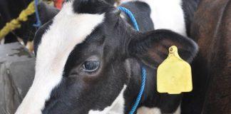 pemberian tanda pada sapi