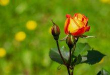 cara penyimpanan bunga mawar