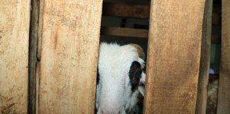 seleksi domba bibit