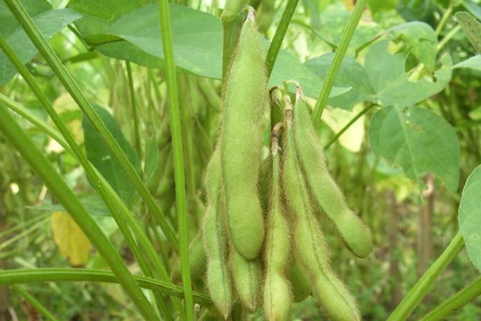produktivitas kacang kedelai