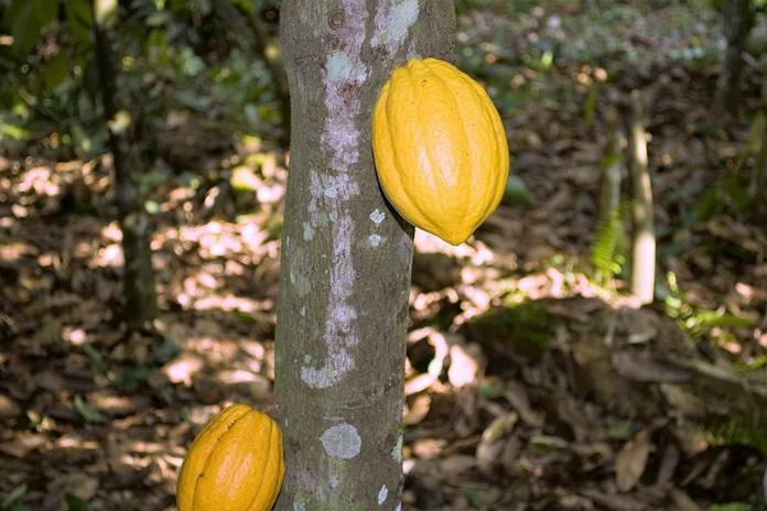 sambung pucuk kakao