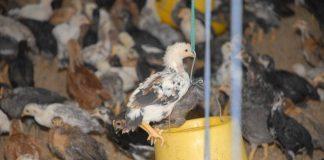 manajemen keuangan peternakan ayam