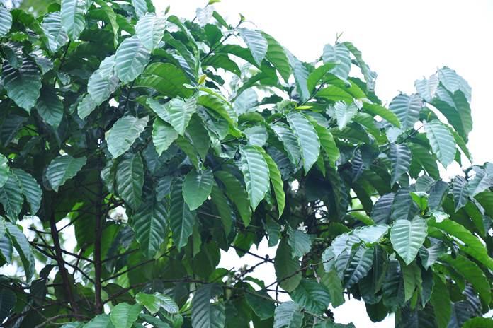 pembentukan buah kopi