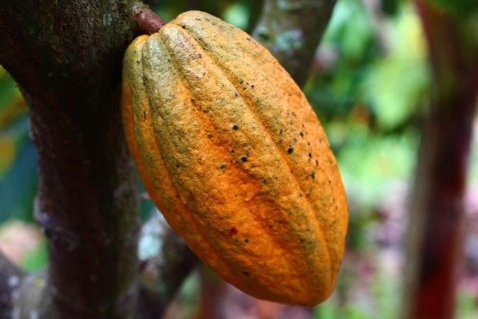 penanung kakao