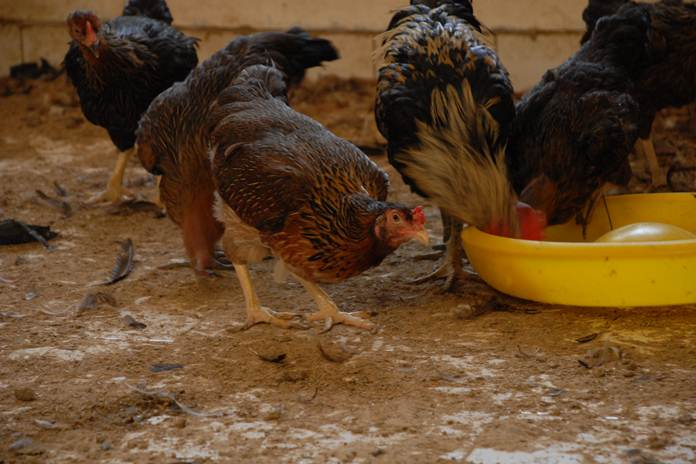 pemasaran ayam kampung