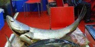 penyakit ikan kakap putih