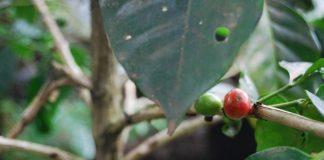 penaung pohon kopi