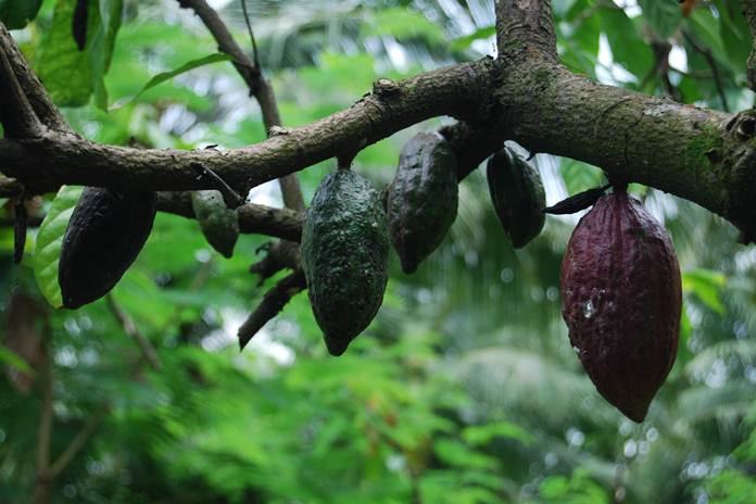 tanaman penaung kakao