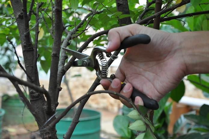 pemangkasan pohon buah