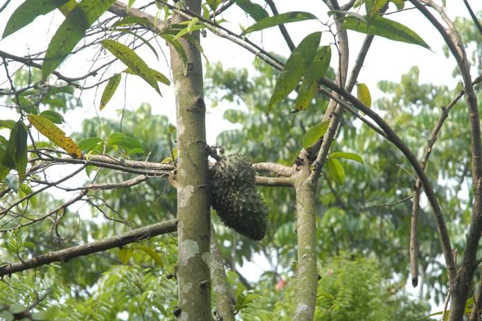 hama pohon sirsak