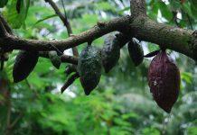 hama penggerek buah kakao