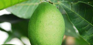 kemasakan buah mangga