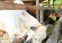 pemotongan tanduk sapi