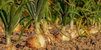 korporatisasi bidang pertanian