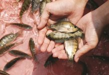 pakan ikan nila berkualitas