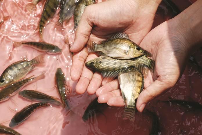 memelihara ikan nila