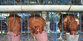 manajemen peternakan ayam