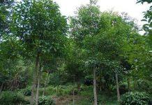 prospek bisnis pohon gaharu