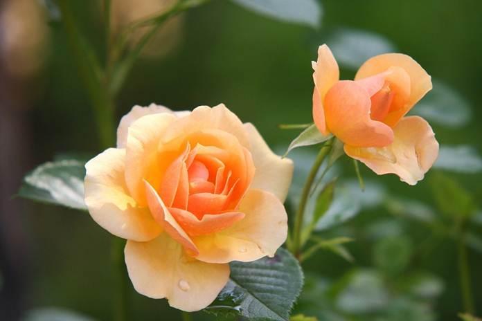manfat bunga mawar