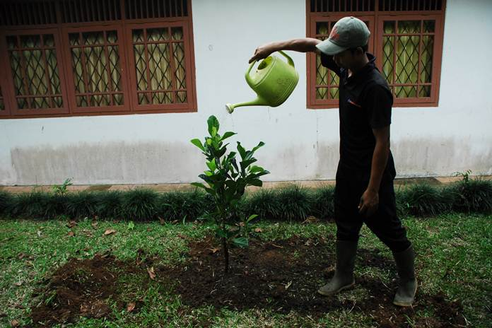 menanam nangka mini