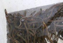kolam belut