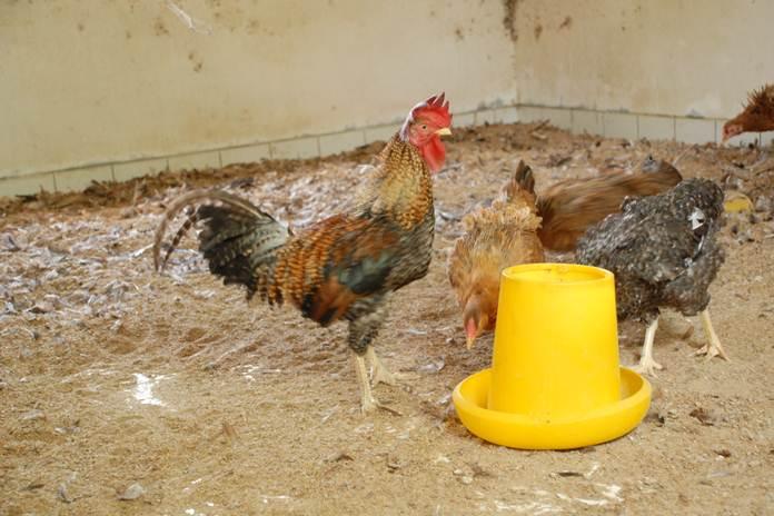 sumber air peternakan ayam