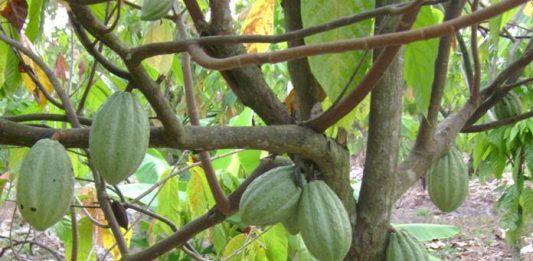 tumpang sari kakao