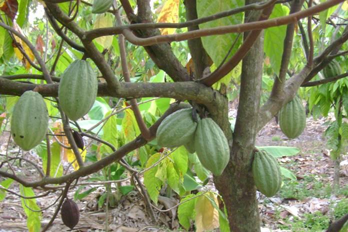 penyakit pohon kakao
