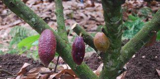 pemangkasan pohon kakao