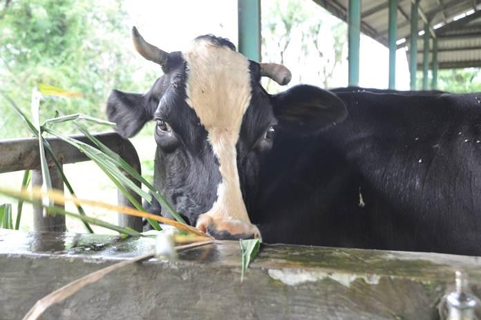 mencegah sapi sakit
