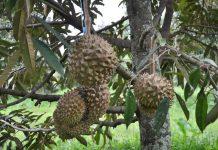 merawat pohon durian