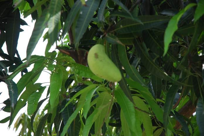kupu-kupu penusuk buah mangga