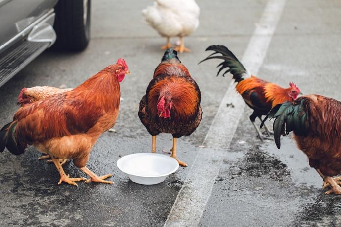 pakan ayam